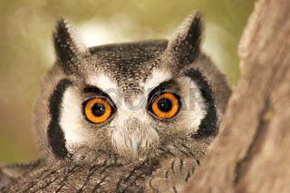 weissgesichtseule, white faced owl, ptilopsis granti, south africa, suedafrika