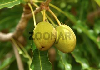 Früchte des Karitébaum/ Shea butter tree