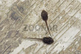 Larven des Grasfrosches Rana temporaria
