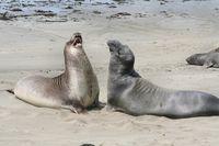 Seeelefanten frei lebend – Kalifornien