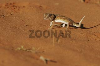 Sandgecko, Kalahari Ground Gecko, Chondrodactylus angulifer, south africa