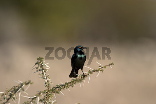 rotschulterglanzstar, lamprotornis nitens, red-shouldered glossy-starling