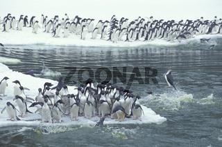 adeliepinguin, Pygoscelis adeliae, adelie penguin, AdÈliepinguin