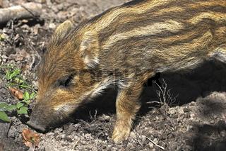 Frischling, Wildschwein 'Sus scrofa'