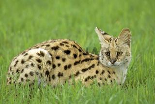 Serval, Felis serval, Masai Mara wildlife reservation, Kenya, Kenia, Africa, Afrika