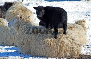 Lamm mit Mutterschaf, Lamb