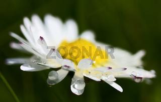 Gänseblümchen Daisy