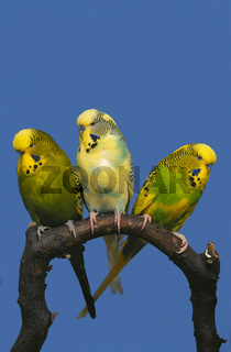 Budgerigar / Budgie / Wellensittich