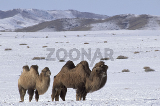 Two humped domestic Bactrian camel,