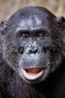 Chimpanzee, Schimpanse, Pan troglodytes, Gombe NP, Tanzania