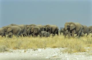 Afrikanische Elefanten, Herde, Familie, Zug, Suedafrika