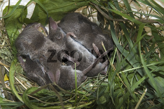 Junge  Hausspitzmäuse Crocidura russula