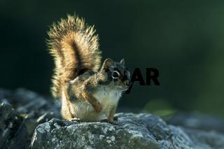 Rothoernchen bei Gegenlicht, Red Squirrel against the light (Tamiasciurus hudsonicus), Juneau, Alaska, USA