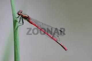Frühe Adonislibelle Pyrrhosoma nymphula