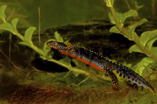 Bergmolch,  männlich 'Ichthyosaura alpestris'