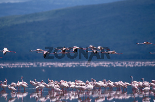 zwergflamingo, phoenicopterus minor, lesser flamingo