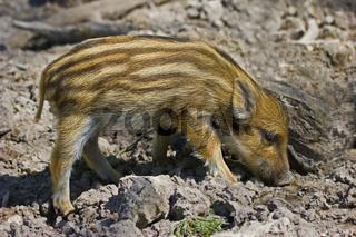 Wildschwein, Frischling 'Sus scrofa'
