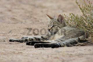 Afrikanische Wildkatze, Falbkatze, African Wildcat, Wild Cat, South Africa, Suedafrika