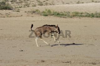 Blue Wildebeest, Connochaetes taurinus, Streifengnu, Blaues Gnu, Sued Afrika, South Africa