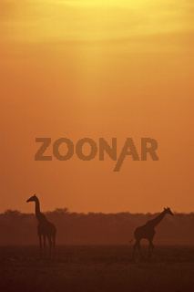 Giraffa camelopardalis giraffa, Kap-Giraffen bei Abenddaemmerung, Giraffes at dusk, Etosha National Park, Namibia, Afrika