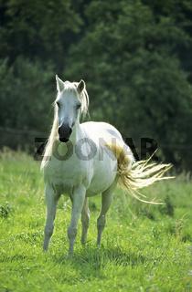 Welsh Pony Sektion B
