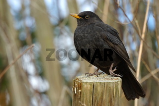 Amsel, Common Blackbird, Eurasian Blackbird