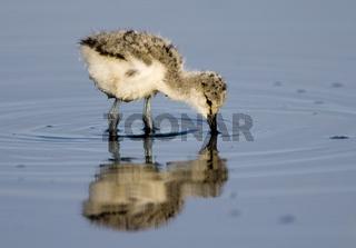 Saebelschnaebler (Recurvirostra avosetta), Avocet