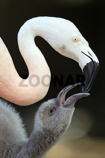 chileflamingo, chilenischer flamingo, phoenicopterus chilensis, chilean flamingo