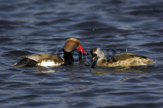 Kolbenente, Red-crested Pochard, Netta rufina