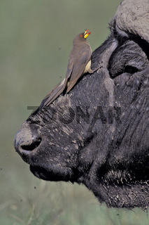 Buffalo and Yellor-billed oxpecker, Afrikanischer Bueffel und Gelbschnabel-Madenhacker, symbiose, symbiosis