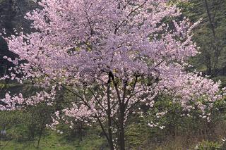 Prunus subhirtella, Japanische Zierkirsche