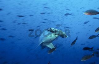 Bogenstirn Hammerhai, Scalloped hammerhead shark
