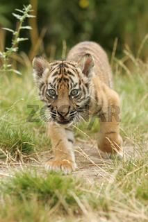 Sumatratiger, Jungtier, Sumatra-Tiger, Panthera tigris sumatrae, Sumatran Tiger
