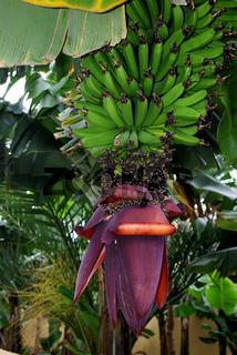 Bananenblüte - Flowering banana