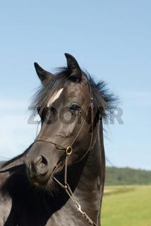 Welsh-Pony-Trakehner-Mix