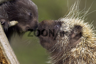 Baumstachler, Neuwelt-Baumstachler, Stachelschwein, cub, Junges, Erethizon dorsatum, New world porcupine