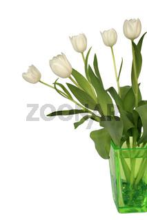 Weiße Tulpen - white Tulip