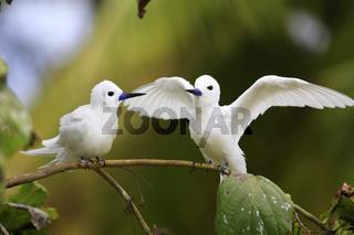 feenseeschwalbe, gygis alba, white tern, bird island, seychellen
