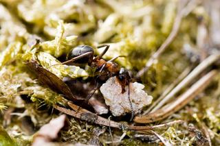 Arbeitende Ameise working ant
