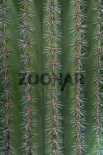 cactus, kaktus, cactaceae, prickle, stacheln close up, detail,