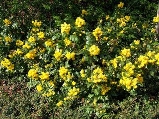 Mahonia aquifolium, Mahonie, Oregon-grape