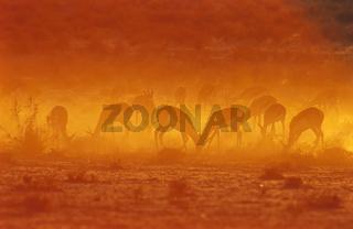 Springboecke, Simbabwe, Afrika