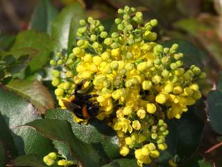 Mahonia aquifolium, Oregon-grape
