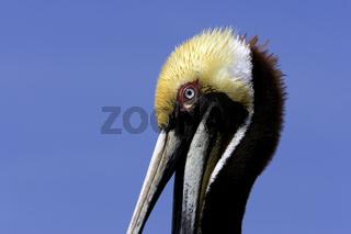 Braunpelikan, Pelecanus occidentalis, Brown Pelican