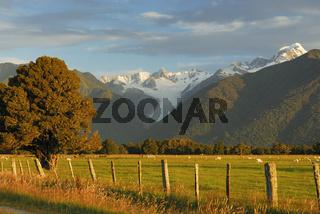 Schafe auf einer Weide vor der Kulisse der Suedalpen mit Fox Glacier und Mt. Tasman