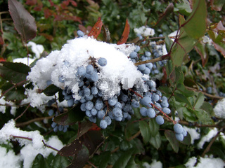 Mahonie, Mahonia, Oregon Grape