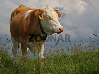 Kuh auf der Almwiese/ cow on a meadow in the mountains