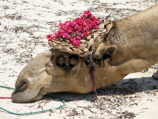 Müdes Kamel mit Hut