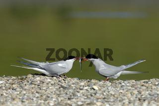 Kuestenseeschwalben-Paerchen, Arctic Tern pair