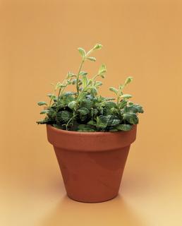 apfelminze, mentha, mentha longifolia, menthe